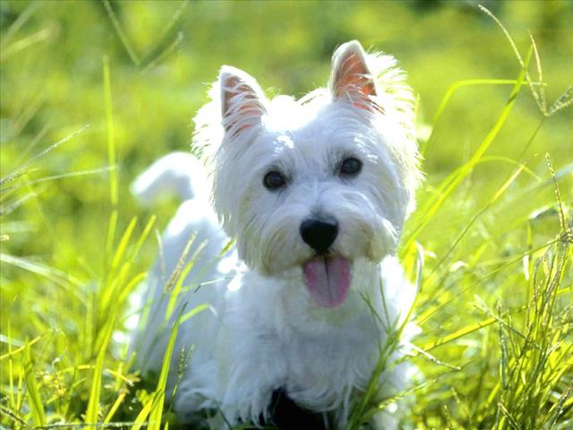 West Highland White Terrier (Foto: Reprodução / Google) Leia mais: http://portaldodog.com.br/cachorros/listas/15-racas-de-cachorros-mais-brincalhoes/#ixzz3hBwH2KS3 Follow us: @PortaldoDog on Twitter | portaldodog on Facebook