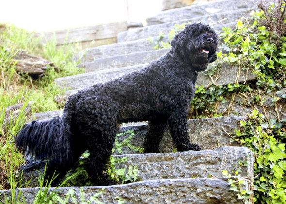Cão de Água Português (Foto: Reprodução / Vetstreet) Leia mais: http://portaldodog.com.br/cachorros/listas/15-racas-de-cachorros-mais-brincalhoes/#ixzz3hBxQRPhl Follow us: @PortaldoDog on Twitter | portaldodog on Facebook