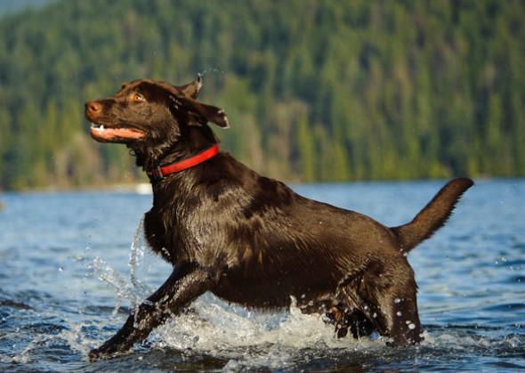 Labrador Retriever (Foto: Reprodução / Vetstreet)
