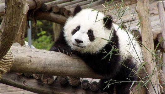 Pandas, pássaros, Natureza!